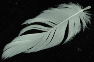 A feather. Flight feathers have orderly barbs and barbules.